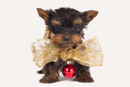 pups: Cute Yorkshire terrier puppy with a Christmas necklace.