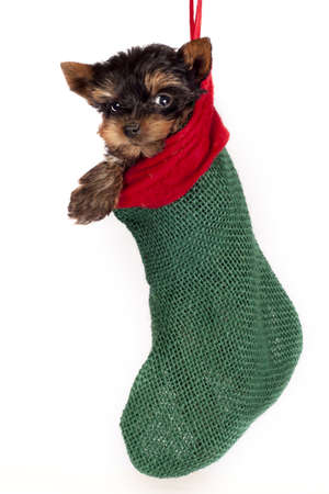 Cute Yorkshire terrier puppy, hanging in a Christmas stocking.