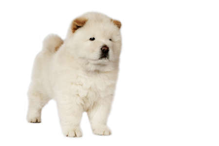 Chow-chow puppy in front of a white background. photo
