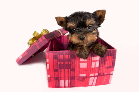 Cute Yorkshire terrier puppy in a Christmas gift box.