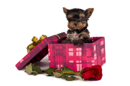 Cute Yorkshire terrier puppy in a Christmas gift box. Stock Photo - 8304283