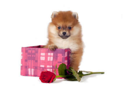 Sweet Pomeranian puppy present in gift box with red rose. photo