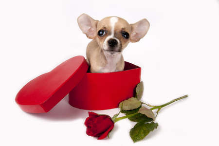 Cute chihuahua  puppy in a gift box with red rose.  photo
