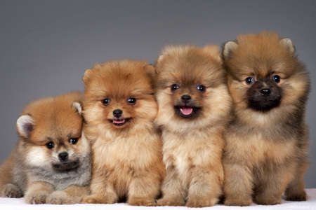 pups: Four puppies of the purebred pomeranian-dog