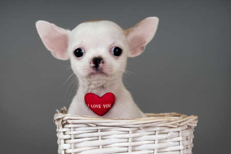 Cute little Chihuahua puppy with sign Stock Photo - 17561534