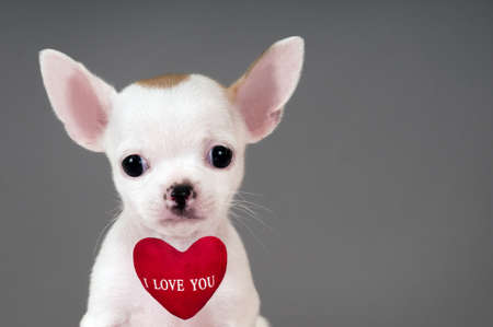 Cute little Chihuahua puppy with sign Stock Photo - 17561543