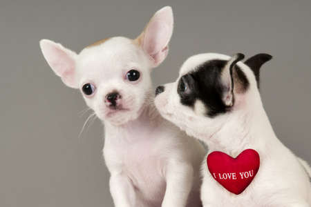 Two Chihuahua puppies, 2 months old with sign I Love You. Stock Photo - 17561535