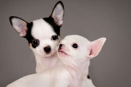 Two Chihuahua puppies, 2 months old. Stock Photo - 17561511