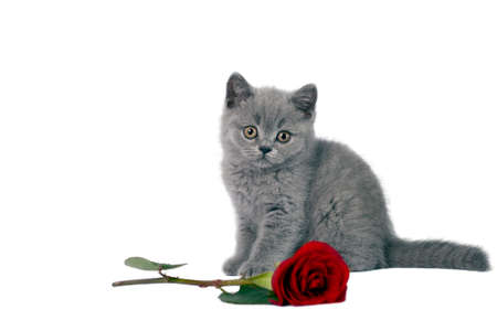 british shorthair: British Shorthair kitten with a red rose