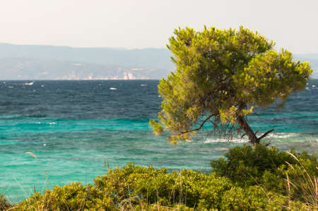 mediterranean forest: Pine forest tree by the sea in Halkidiki, Greece