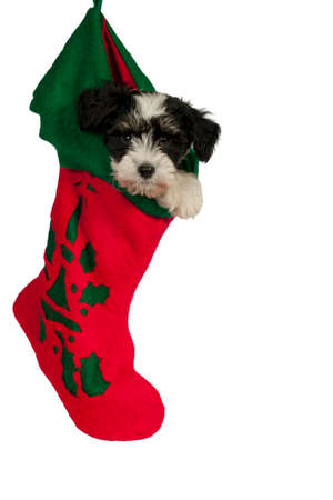 Cute Powder-puff puppy, hanging in a Christmas stocking.Isolated.