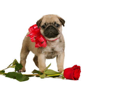Cute little Pug puppy with red bow and rose isolated on white background photo