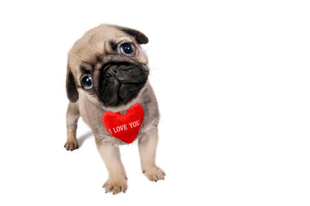 pug puppy: Cute little Pug puppy with sign I Love You isolated on white . Stock Photo