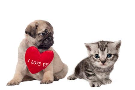 """puppy love: Pug cachorro con el signo de """"Te Amo"""" mirando un pequeño gatito británico corto. Foto de archivo"""