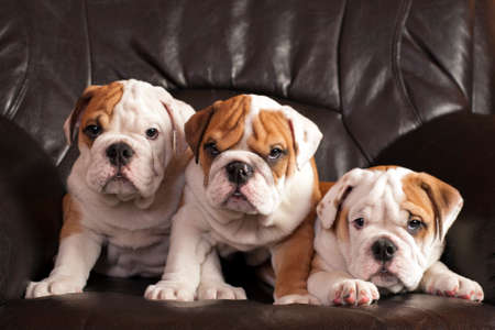 Three english bulldog puppies sitting on black leather sofa. Banque d'images