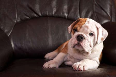 English bulldog puppy sitting on black leather sofa. photo