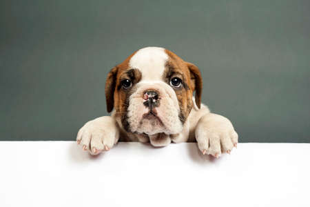 bulldog puppy: Cute English bulldog puppy  with paws on a message board . Stock Photo