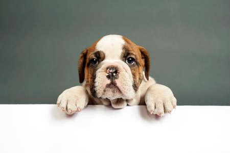 dogo: Lindo cachorro bulldog Ingl�s con las patas en un tablero de mensajes.
