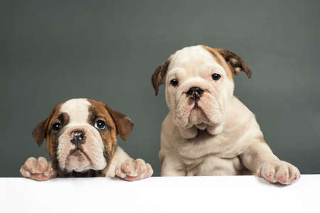 Two English bulldog puppies with paws on a message board .