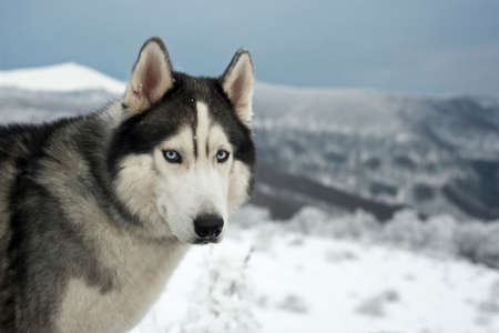 blue eye husky: Portret of a Husky with blue eyes. Space for text.