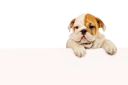 English Bulldog puppy with white banner isolated on white. Stock Photo