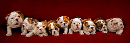 Nine English Bulldogs 2 months old over red background.