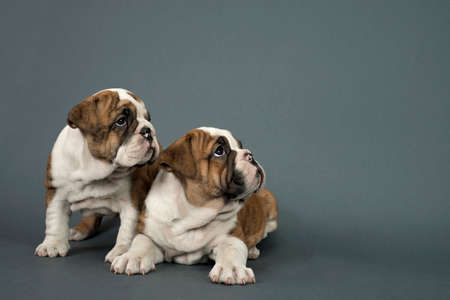 british people: Two English Bulldog dogs over gray background looking  right - text space to the right .