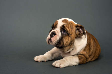 british people: English Bulldog puppy , 3 months old lying on gray background and looking  left - text space to the left.