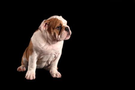 English bulldog puppy isolated on black background.
