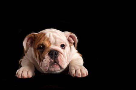 English bulldog puppy isolated on black background.