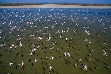 Flock of flamingos in flight. Aerial shot