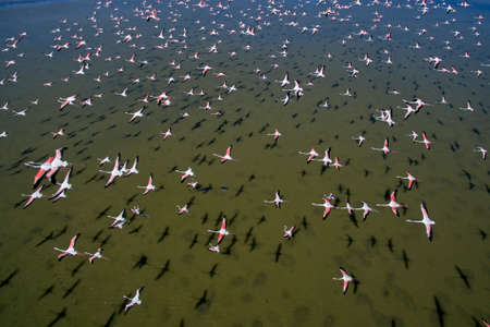 Flock of flamingos in flight.Aerial shot Banque d'images