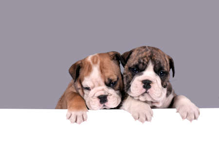 message board: Two English bulldog puppies with paws on a message board