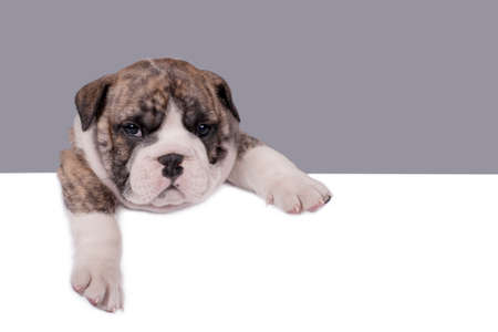 Cute English bulldog puppy with paws on a message board
