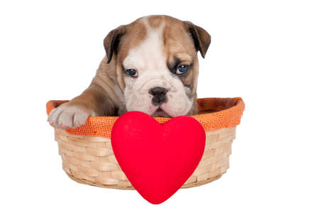 Cute English bulldog puppy with heart isolated on a white background.
