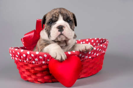 Cute English bulldog puppy with heart  on a gray background Banque d'images