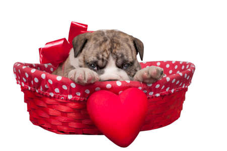 Cute English bulldog puppy with heart isolated on a white background Banco de Imagens
