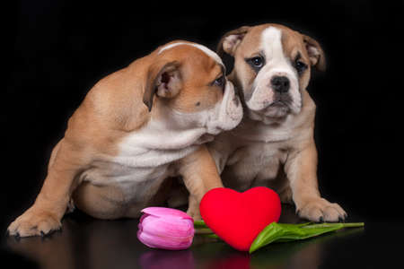 Two English bulldog puppies with heart on black background