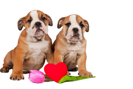 Two English bulldog puppies with heart isolated on a white background.