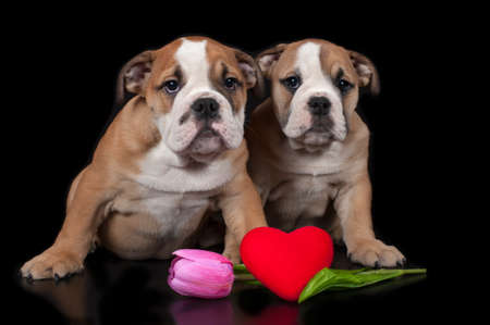 Two English bulldog puppies with heart on a black background Banco de Imagens