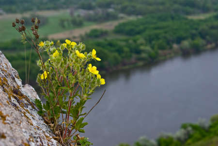 villi: Yellow flowers on a rock above the river