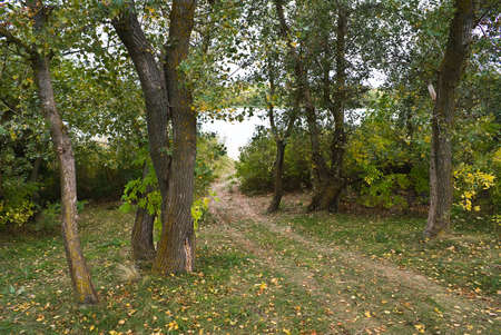 poplars: Path to the river bank between the poplars Stock Photo