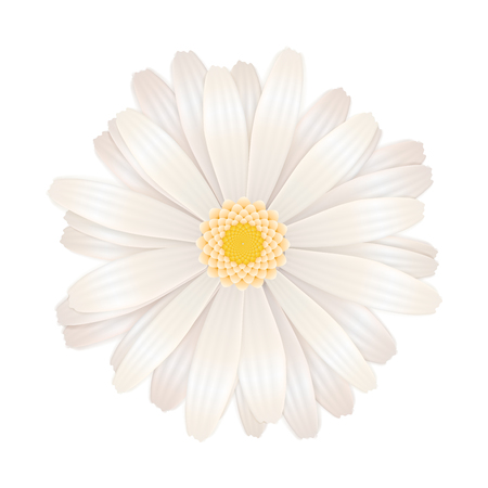 Bright white gerbera flower isolated on white