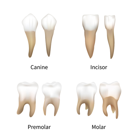 Set of realistic human teeth types on white