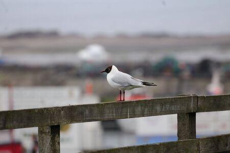 headed: Black Headed Gull. Stock Photo