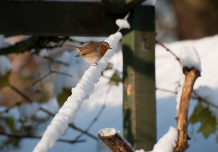 Robin in the snow. photo