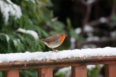 Festive Robin 2. photo