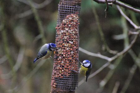 Pair of Bluetits feeding. photo