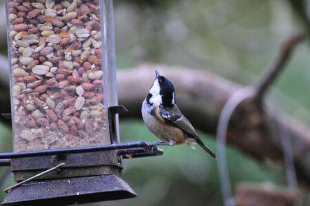 Coaltit feeding. photo