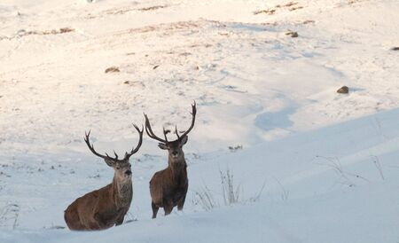 Two Deer Stags in snow  photo